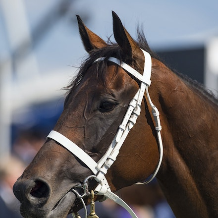 Winx-03192016-4926 - SYDNEY, Australia:   WINX (Street Cry - Vegas Showgirl) wins the G1 George Ryder Stakes (1500m, standard WFA) at Rosehill Gardens...