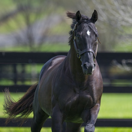 More Than Ready - MORE THAN READY (Southern Halo - Woodman's Girl) is a champion stallion in both the southern and northern hemisphere.  In Australia he...