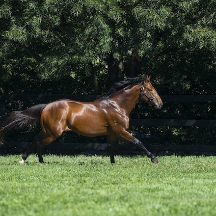 AllTooHard-04142016-4757 - ALL TOO HARD (Casino Prince - Helsinge), the half brother to Black Caviar and a 4 time G1 winner, at his home Vinery Stud.