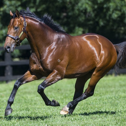 AllTooHard-04142016-4893 - ALL TOO HARD (Casino Prince - Helsinge), the half brother to Black Caviar and a 4 time G1 winner, at his home Vinery Stud.