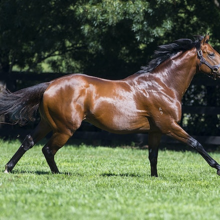 AllTooHard-04142016-4951 - ALL TOO HARD (Casino Prince - Helsinge), the half brother to Black Caviar and a 4 time G1 winner, at his home Vinery Stud.