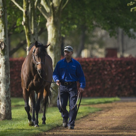 Albrecht-09212015-8328 - ALBRECHT (Redoute's Choice) photographed at Darley's Kelvinside Stud on 21 September 2015.  Picture - Bronwen Healy. The Image...