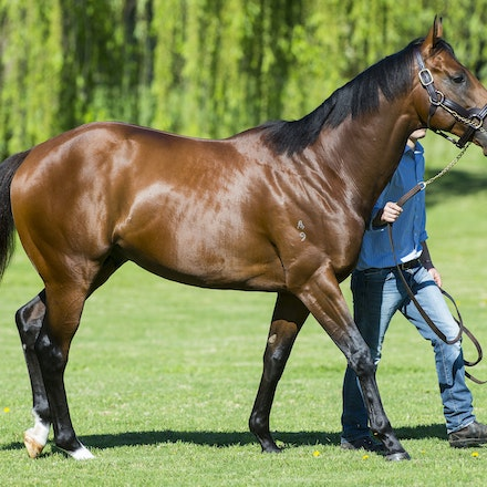 AllTooHard-09202013-2683 - ALL TOO HARD (Casino Prince - Helsinge), half brother to Black Caviar and a 4 time Group 1 winner, at Vinery Stud.