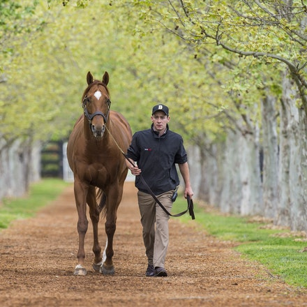 AnimalKingdom-09252015-1544 - World champion racehorse and now stallion ANIMAL KINGDOM at Arrowfield Stud, Scone.