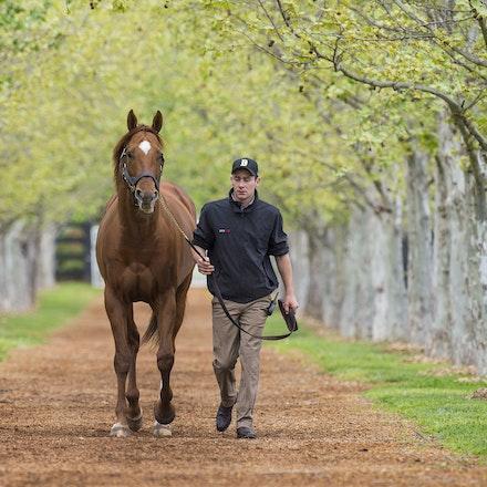 AnimalKingdom-09252015-1545 - World champion racehorse and now stallion ANIMAL KINGDOM at Arrowfield Stud, Scone.