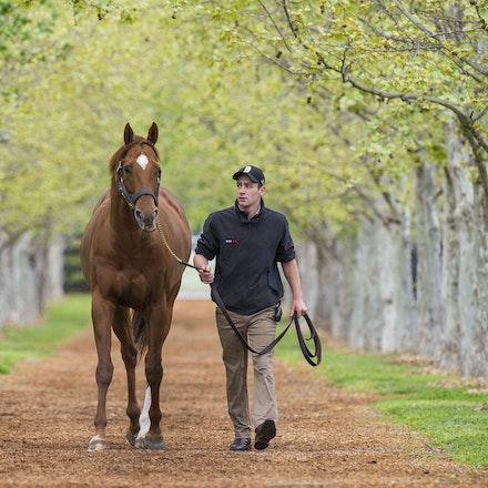 AnimalKingdom-09252015-1551 - World champion racehorse and now stallion ANIMAL KINGDOM at Arrowfield Stud, Scone.