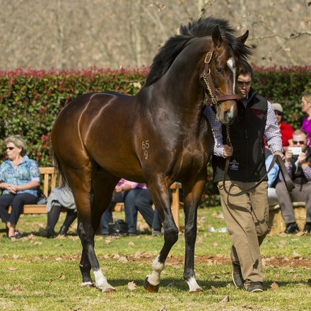 Dundeel-08222015-1029 - DUNDEEL (High Chaparral - Stareel) parades at Arrowfield Stud.