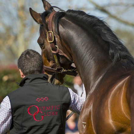 Dundeel-08222015-1168 - DUNDEEL (High Chaparral - Stareel) parades at Arrowfield Stud.