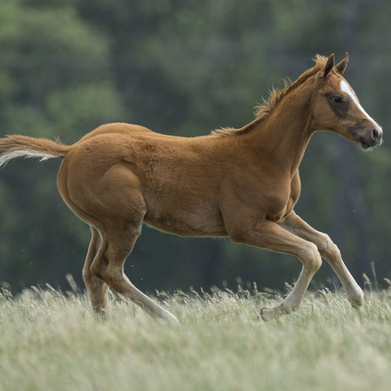 Snowbell-Zoustar-11172015-8337 - Colt foal born on 2 September 2015, sired by ZOUSTAR (Northern Meteor - Zouzou) and out of SNOWBELL (Kendargent - FR -...