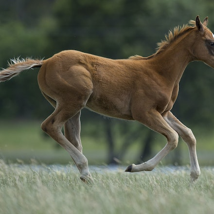 Snowbell-Zoustar-11172015-8194 - Colt foal born on 2 September 2015, sired by ZOUSTAR (Northern Meteor - Zouzou) and out of SNOWBELL (Kendargent - FR -...