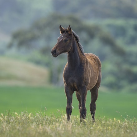 OffThePlanet-BelEsprit-11172015-7973 - Filly foal born on (TBA 2015), sired by BEL ESPRIT (Royal Academy -Bespoken) and out of OFF THE PLANET (Fusaichi...