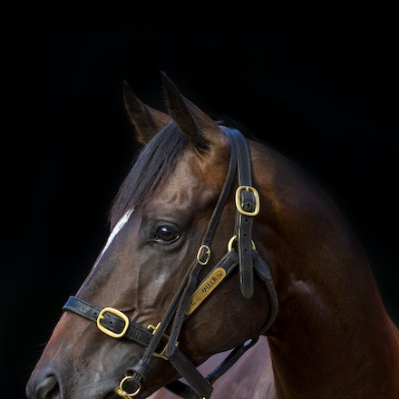 Adelaide-01162015-6545 - ADELAIDE (Galileo).  Winner of the 2014 G1 WS Cox Plate.  Photographed in January 2015.