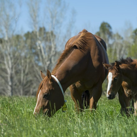 Mares and Foals Portfolio - Images taken at various studs in the Hunter Valley and Victoria.