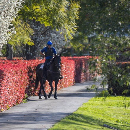 Lonhro-09212015-0366 - Champion stallions EXCEED AND EXCEL (bay stallion) and LONHRO (black stallion) are exercised under saddle at Darley's Kelvinside...