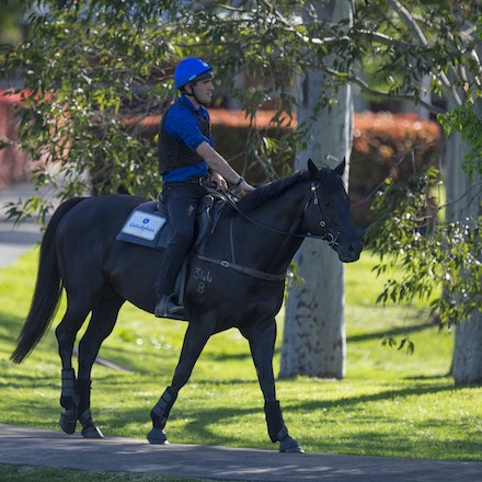 Lonhro-09212015-0403 - Champion stallions EXCEED AND EXCEL (bay stallion) and LONHRO (black stallion) are exercised under saddle at Darley's Kelvinside...