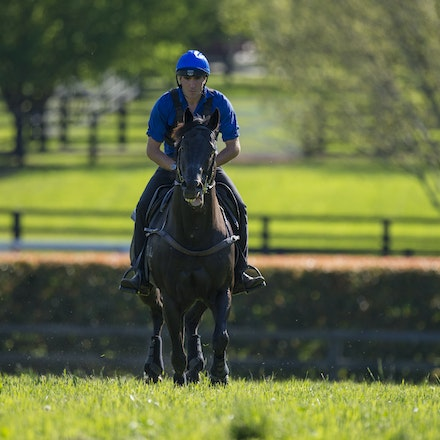 Lonhro-09212015-0439 - Champion stallions EXCEED AND EXCEL (bay stallion) and LONHRO (black stallion) are exercised under saddle at Darley's Kelvinside...