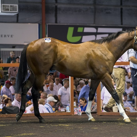 Lot549-Snitzel-UltimateFever-01132017-5398 - LOT 549.  Bay colt consigned by Luskin Park Stud.  By SNITZEL out of ULTIMATE FEVER.  Sold for $925K to China...
