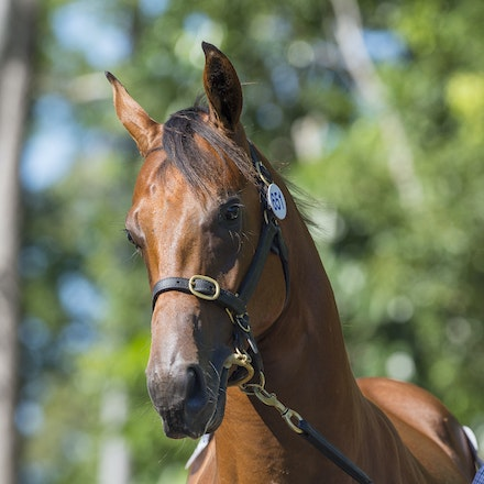 2017 GCYS Day 3 - Day 3 of the 2017 Magic Millions Gold Coast Yearling Sale.  13 January 2017.  The highlight of the day was Lot 651, a colt consigned...