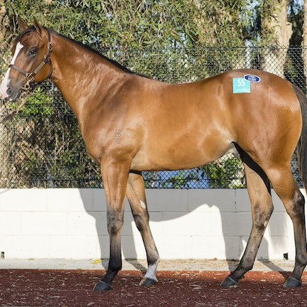 Lot55-NotASingleDoubt-GoldenEdict-01112017-0136 - Lot 55.  A bay colt consigned by Aquis Farm.  By NOT A SINGLE DOUBT from Golden Edict.  Sold for $525,000...