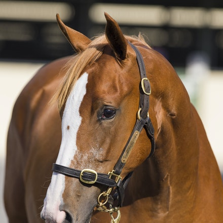 Lot133-Sebring-KarutaQueen-01112017-2954 - Lot 133. A chestnut filly consigned by Strawberry Hills Stud.  By SEBRING out of KARUTA QUEEN.  Sold for $500,000...