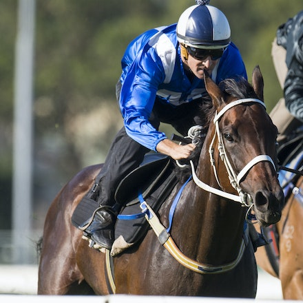 Winx-BowmanHugh-01172017-1762 - Champion racehorse WINX (Street Cry - Vegas Showgirl) runs in Heat 1 of the Official Trials at Rosehill Gardens Racecourse,...