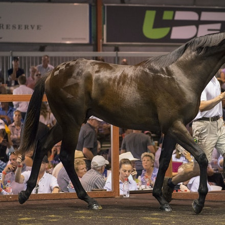 2017 GCYS Day 2 - Day 2 of the Magic Millions Gold Coast Yearling Sale.  Held on 12 January 2017.  The highlight of the day was Lot 339, a brown colt by...