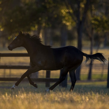 Snitzel-SliceOfParadise-11162016-3835 - at Arrowfield Stud.  Wednesday 16 November 2016. Photo - Bronwen Healy.  The Image is Everything - Bronwen Healy...