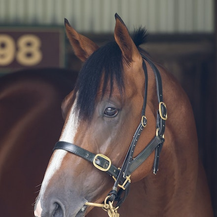 Pariah-02112017-3444 - PARIAH (Redoute's Choice -Secluded ) in the Horse Stalls at Caulfield Racecourse on CF Orr Stakes Day.  Photo - Bronwen Healy....