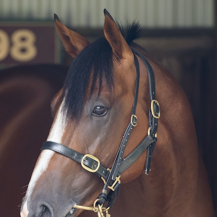 Pariah-02112017-3446 - PARIAH (Redoute's Choice -Secluded ) in the Horse Stalls at Caulfield Racecourse on CF Orr Stakes Day.  Photo - Bronwen Healy....