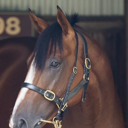 Pariah-02112017-3447 - PARIAH (Redoute's Choice -Secluded ) in the Horse Stalls at Caulfield Racecourse on CF Orr Stakes Day.  Photo - Bronwen Healy....