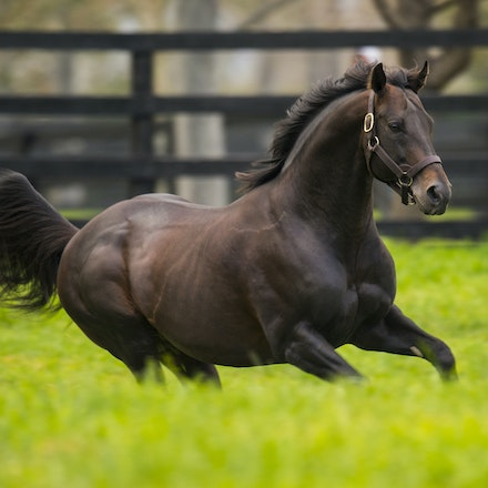 Bernardini - Bernardini (AP Indy - Cara Rafeala) is a champion American racehorse and now stallion.  He won the Preakness Stakes and Travers Stakes in...