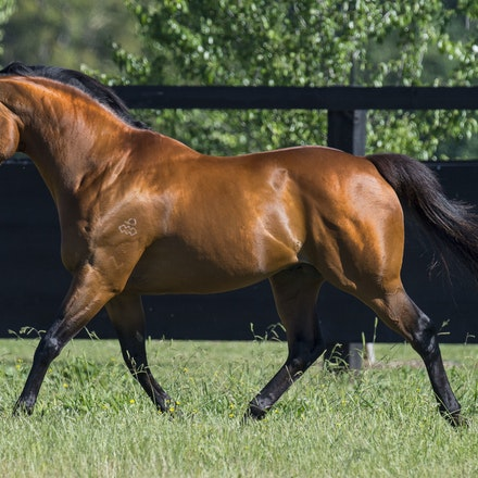 NotASingleDoubt-11162016-1329 - Champion stallion NOT A SINGLE DOUBT (Redoute's Choice - Singles Bar) photographed at Arrowfield Stud.  Photo - Bronwen...