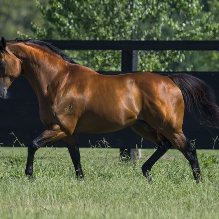 NotASingleDoubt-11162016-1328 - Champion stallion NOT A SINGLE DOUBT (Redoute's Choice - Singles Bar) photographed at Arrowfield Stud.  Photo - Bronwen...