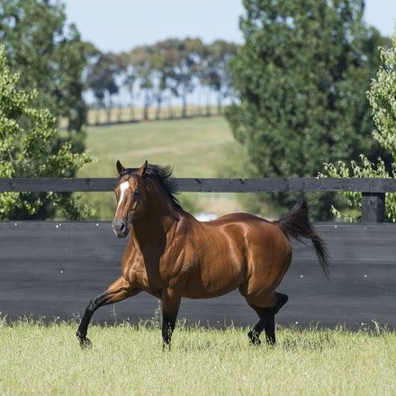 NotASingleDoubt-11162016-8063 - Champion stallion NOT A SINGLE DOUBT (Redoute's Choice - Singles Bar) photographed at Arrowfield Stud.  Photo - Bronwen...