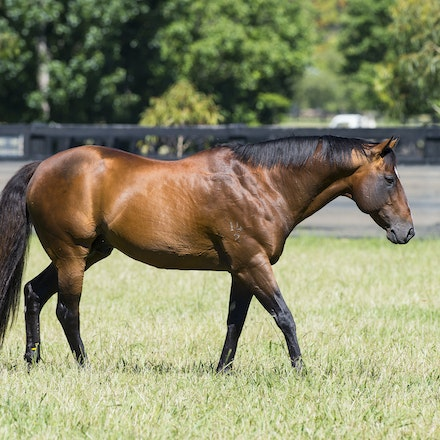 Snitzel-11162016-2287 - at Arrowfield Stud.  Wednesday 16 November 2016. Photo - Bronwen Healy.  The Image is Everything - Bronwen Healy and Darren Tindale...
