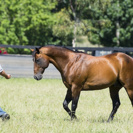 Snitzel-11162016-2302 - at Arrowfield Stud.  Wednesday 16 November 2016. Photo - Bronwen Healy.  The Image is Everything - Bronwen Healy and Darren Tindale...