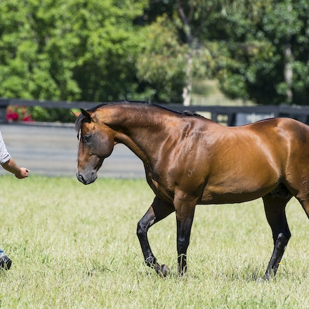 Snitzel-11162016-2303 - at Arrowfield Stud.  Wednesday 16 November 2016. Photo - Bronwen Healy.  The Image is Everything - Bronwen Healy and Darren Tindale...