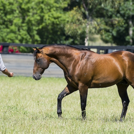 Snitzel-11162016-2304 - at Arrowfield Stud.  Wednesday 16 November 2016. Photo - Bronwen Healy.  The Image is Everything - Bronwen Healy and Darren Tindale...