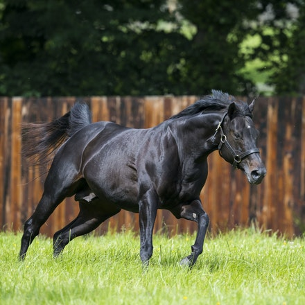 WoottonBassett-06072017-0002 - WOOTTON BASSETT (Iffraaj - Balladonia) photographed in his paddock at Haras d'Etreham.  Photo by Bronwen Healy - The Image...