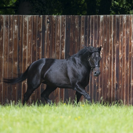 WoottonBassett-06072017-0026 - WOOTTON BASSETT (Iffraaj - Balladonia) photographed in his paddock at Haras d'Etreham.  Photo by Bronwen Healy - The Image...