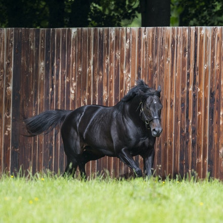 WoottonBassett-06072017-0031 - WOOTTON BASSETT (Iffraaj - Balladonia) photographed in his paddock at Haras d'Etreham.  Photo by Bronwen Healy - The Image...