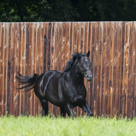 WoottonBassett-06072017-0033 - WOOTTON BASSETT (Iffraaj - Balladonia) photographed in his paddock at Haras d'Etreham.  Photo by Bronwen Healy - The Image...