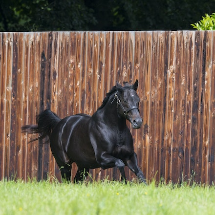 WoottonBassett-06072017-0034 - WOOTTON BASSETT (Iffraaj - Balladonia) photographed in his paddock at Haras d'Etreham.  Photo by Bronwen Healy - The Image...