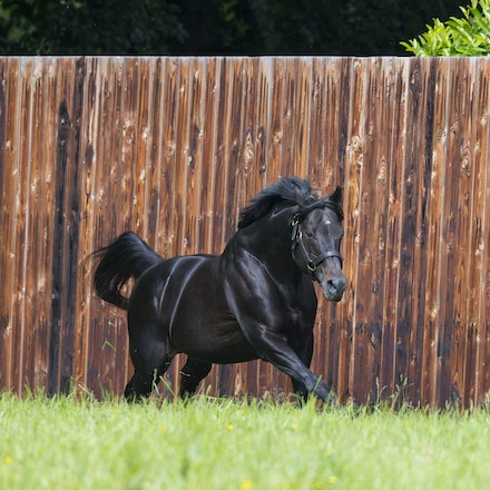 WoottonBassett-06072017-0035 - WOOTTON BASSETT (Iffraaj - Balladonia) photographed in his paddock at Haras d'Etreham.  Photo by Bronwen Healy - The Image...