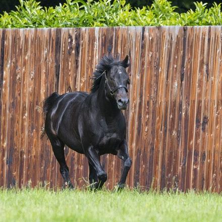 WoottonBassett-06072017-0043 - WOOTTON BASSETT (Iffraaj - Balladonia) photographed in his paddock at Haras d'Etreham.  Photo by Bronwen Healy - The Image...