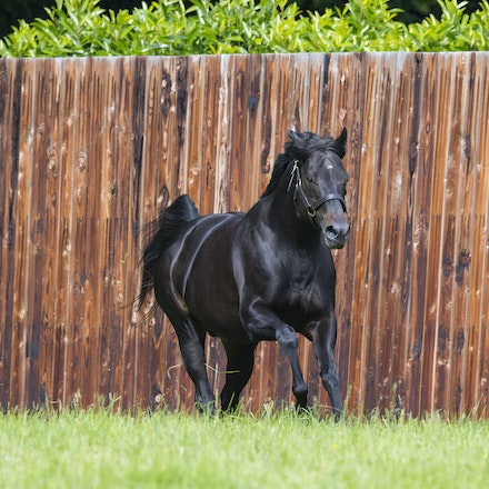 WoottonBassett-06072017-0044 - WOOTTON BASSETT (Iffraaj - Balladonia) photographed in his paddock at Haras d'Etreham.  Photo by Bronwen Healy - The Image...