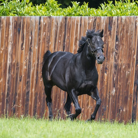 WoottonBassett-06072017-0048 - WOOTTON BASSETT (Iffraaj - Balladonia) photographed in his paddock at Haras d'Etreham.  Photo by Bronwen Healy - The Image...
