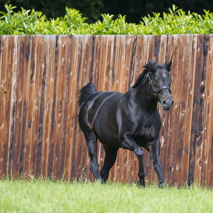 WoottonBassett-06072017-0049 - WOOTTON BASSETT (Iffraaj - Balladonia) photographed in his paddock at Haras d'Etreham.  Photo by Bronwen Healy - The Image...