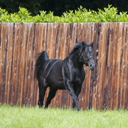 WoottonBassett-06072017-0050 - WOOTTON BASSETT (Iffraaj - Balladonia) photographed in his paddock at Haras d'Etreham.  Photo by Bronwen Healy - The Image...