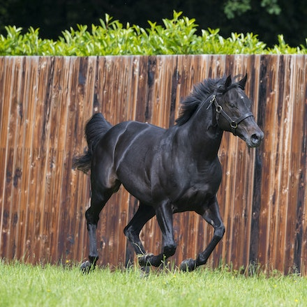 WoottonBassett-06072017-0053 - WOOTTON BASSETT (Iffraaj - Balladonia) photographed in his paddock at Haras d'Etreham.  Photo by Bronwen Healy - The Image...